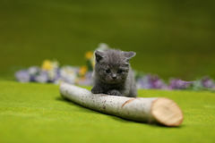 British Shorthair kitten playing with a branch. Of tree, tree trunk on a green background Stock Photography