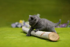 British Shorthair kitten playing with a branch. Of tree, tree trunk on a green background Royalty Free Stock Photography