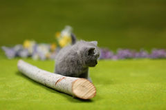 British Shorthair kitten playing with a branch Royalty Free Stock Photography