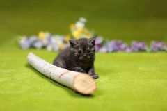 British Shorthair kitten playing with a branch. Of tree, tree trunk on a green background Stock Photo