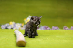 British Shorthair kitten playing with a branch. Of tree, tree trunk on a green background Royalty Free Stock Image