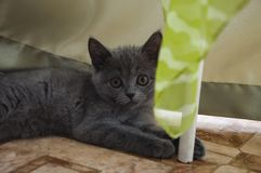 British Shorthair kitten is playing on the floor.  stock photos