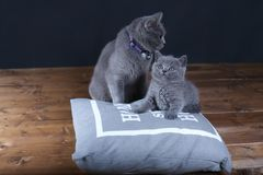 Kitten and mom cat sitting on a grey pillow. British Shorthair kitten playing with his mother on a soft grey pillow, close-up portrait, wooden floor Royalty Free Stock Photography