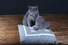 Kitten and mom cat sitting on a grey pillow. British Shorthair kitten playing with his mother on a soft grey pillow, close-up portrait, wooden floor Royalty Free Stock Photos