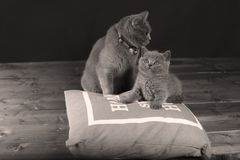 Kitten and mom cat sitting on a grey pillow. British Shorthair kitten playing with his mother on a soft grey pillow, close-up portrait, wooden floor Royalty Free Stock Image