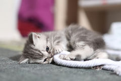 British Shorthair kitten. Playing with a rope Royalty Free Stock Photos