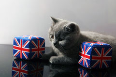 British shorthair kitten Royalty Free Stock Photo