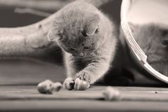 British Shorthair kitten plays with acorn