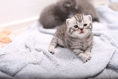 British Shorthair kitten portrait. Cute little baby kitten looking at the camera Royalty Free Stock Photo