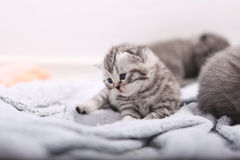 British Shorthair kitten portrait. Cute little baby kitten looking at the camera Royalty Free Stock Images