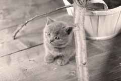 British Shorthair kitten portrait, isolated. Mother British Shorthair cat portrait black and white shot royalty free stock photos