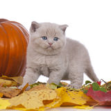 British shorthair kitten with a pumpkin Royalty Free Stock Images