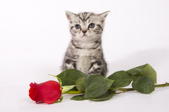 British Shorthair kitten with a red rose. royalty free stock photos