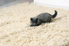 British Shorthair kitten on the rug Stock Image