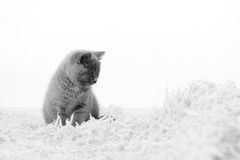 British Shorthair kitten on the rug Royalty Free Stock Photography