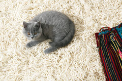 British Shorthair kitten on the rug Stock Images