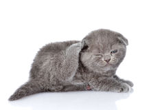 British shorthair kitten scratching.  on white backgroun Stock Photo