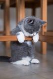 British Shorthair, kitten, shot indoors Royalty Free Stock Image