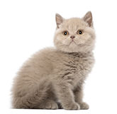 British Shorthair Kitten sitting, 9 weeks old Royalty Free Stock Photo