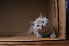 British Shorthair blue kitten sitting in a box, isolated portrait. British Shorthair kitten sitting in a cardboard box royalty free stock photo