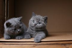 British Shorthair blue kittens sitting in a box, isolated portrait. British Shorthair kitten sitting in a cardboard box royalty free stock image
