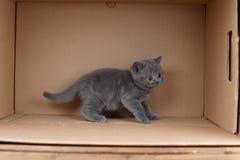 British Shorthair blue kitten walking in a box, isolated portrait. British Shorthair kitten sitting in a cardboard box stock photos