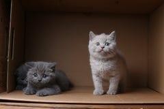 British Shorthair blue kitten sitting in a box, isolated portrait. British Shorthair kitten sitting in a cardboard box royalty free stock photos