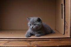 British Shorthair blue kitten sitting in a box, isolated portrait. British Shorthair kitten sitting in a cardboard box stock photo