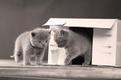 Baby kitten hiding in a cardboard box. British Shorthair kitten sitting in a cardboard gift box, unpacking Stock Photos