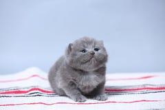 British Shorthair kitten sitting on the carpet. British Shorthair kittens on a handmade rug, cute face looking up Stock Photo
