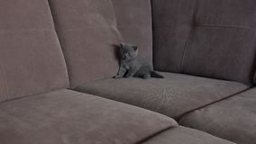 Kitten on the couch. British Shorthair kitten sitting on the couch, close-up view stock footage