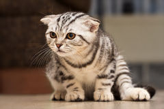 British Shorthair kitten. Sitting little kitten stock images