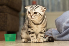 British Shorthair kitten. Sitting little kitten royalty free stock photos