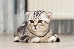 British Shorthair kitten. Sitting little kitten royalty free stock photography