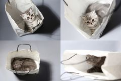 British Shorthair kitten in a bag, grid 2x2 Stock Photo