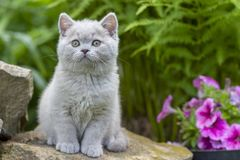 British shorthair kitten sitting on a stone in the grass close-up royalty free stock photo