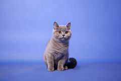 British Shorthair kitten Stock Photography