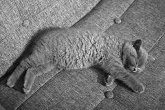 British Shorthair kitten. Sleeping on the coach Stock Images