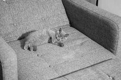 British Shorthair kitten. Sleeping on the coach Royalty Free Stock Photography