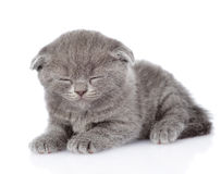 British shorthair kitten sleeping. isolated on white background Royalty Free Stock Photography