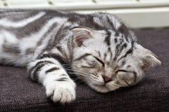 British Shorthair kitten.  Stock Image