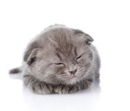 British shorthair kitten sleeping.  on white background Royalty Free Stock Image