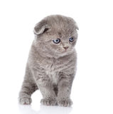 British shorthair kitten standing in front. isolated on white Royalty Free Stock Image