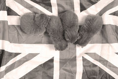 British Shorthair kitten and UK flag. Cute British Shorthair kitten sleeping on the Union Jack flag Stock Photography