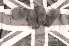 British Shorthair kitten and UK flag Stock Photography