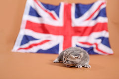 British Shorthair kitten and the UK flag Stock Image