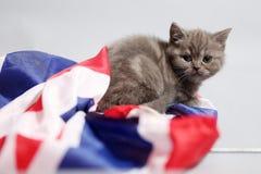 British Shorthair kitten and UK flag Stock Image