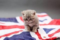 British Shorthair kitten on a UK flag sheet Stock Images