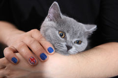 British Shorthair kitten and Union Jack flag. Girl holding a British Shorthair kitten in her hands, Union Jack polished nails, cute close-up portrait Royalty Free Stock Photo