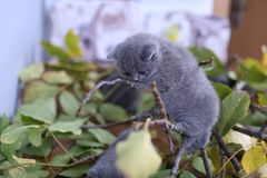 British Shorthair kitten up on a branch. British Shorthair kittens playing with branches of tree, tree trunk and green leaves Stock Photo
